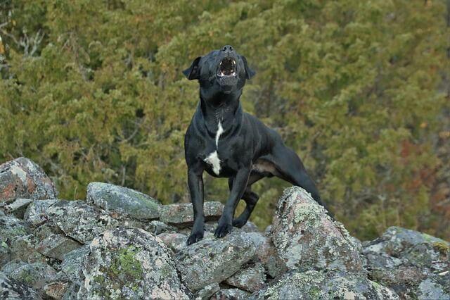 perro negro enojado ladrando