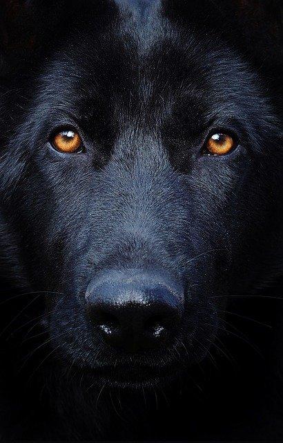 perro negro mirando