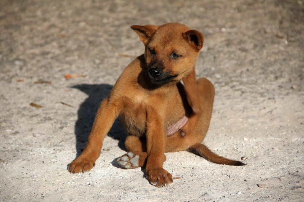 que es anaplasmosis en perros