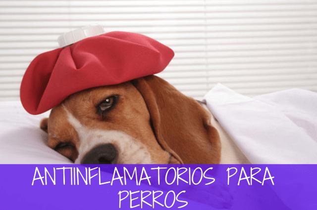 antiinflamatorio para perros