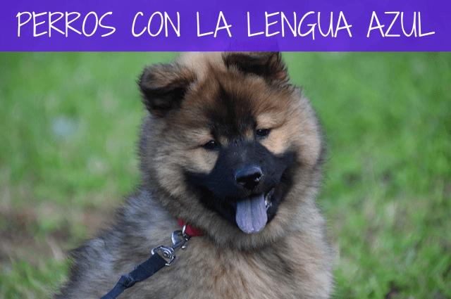 perros con la lengua azul