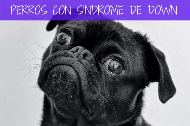 perros con síndrome de down