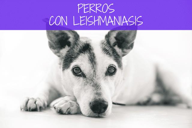 Perros con leishmaniasis