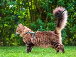 Cómo entrenar a un gato para que camine con una correa